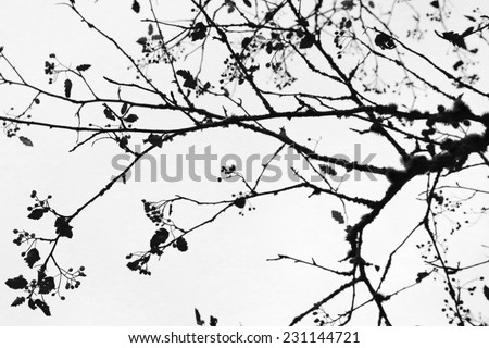 isolated silhouette  tree branches on the white background - stock photo