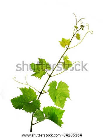 Isolated single fresh grapevine branch - stock photo