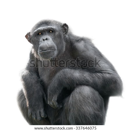 Isolated sitting monkey. Chimpanzee looks at something with extreme attention isolated on white background - stock photo