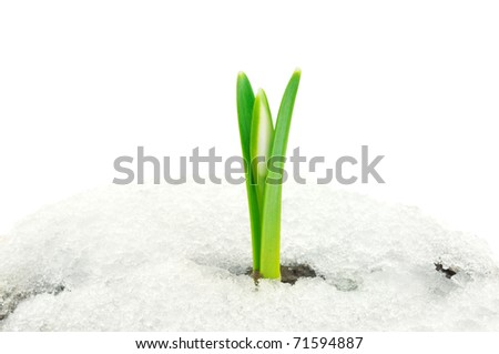 isolated snowdrop flower coming out from real snow