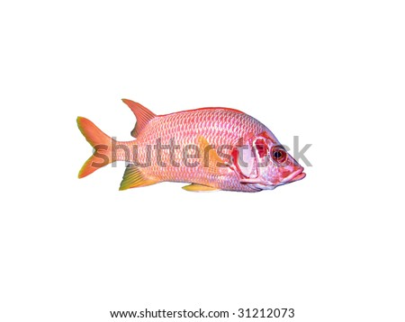Isolated soldier-fish on a white background - stock photo