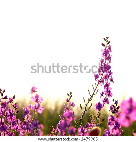 isolated spring field (consolida regalis) - stock photo
