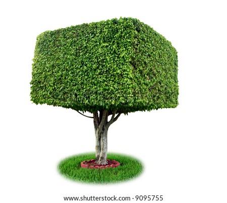 Isolated square ficus tree [ficus benjamina]. - stock photo