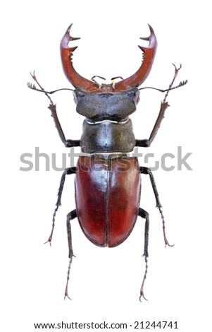 Isolated stag-beetle (Lucanus cervus) - the largest beetle of Europa - stock photo