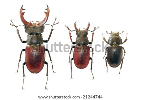 Isolated stag-beetles family - the largest beetle of Europa - stock photo