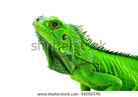 Isolated studio shot of a green iguana lifting its head on white background