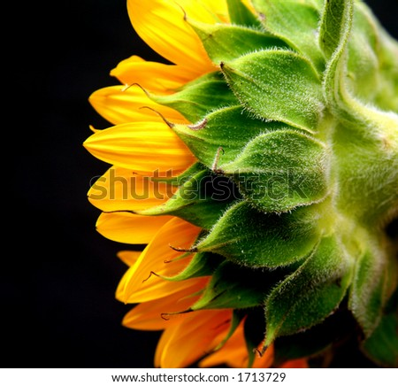 isolated studio shot of a sunflower against a black background - stock photo
