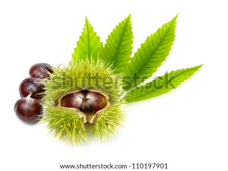 Isolated studio shot of edible chestnuts and fresh green leaves - stock photo