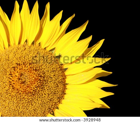 Isolated Sun Flower - stock photo