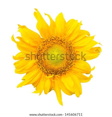 isolated sunflower - stock photo