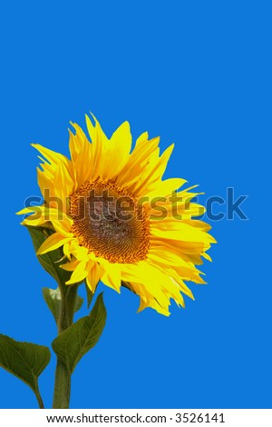 Isolated Sunflower against bright blue contrasting background - stock photo