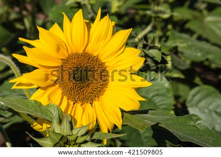 isolated sunflower in bloom - stock photo