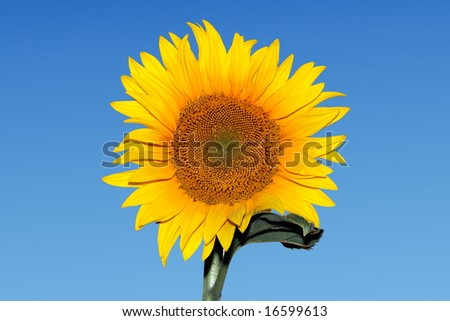 Isolated Sunflower on blue