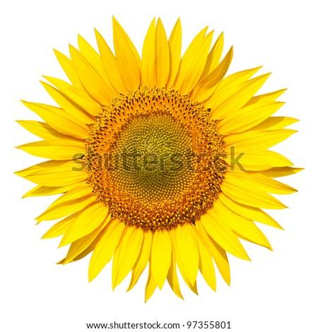 Isolated sunflower on white background. - stock photo