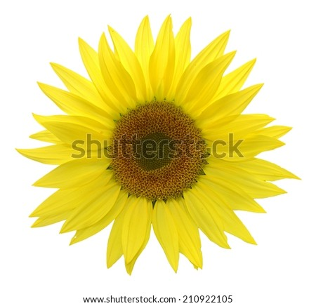 Isolated Sunflower with Bright Yellow Tousled Petals