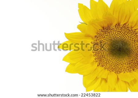 Isolated Sunflowers on white background