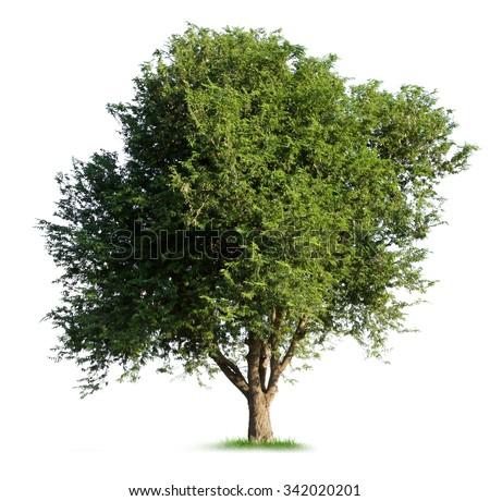 Isolated tamarind tree on white background - stock photo
