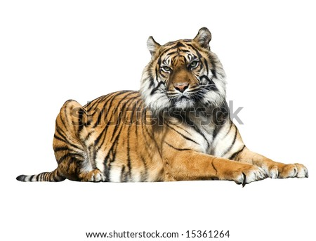 Isolated Tiger