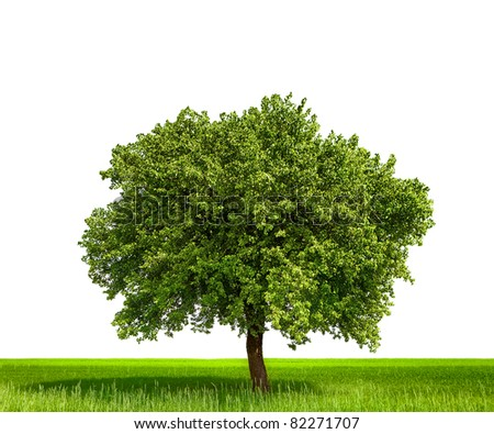 Isolated tree against a white background - stock photo