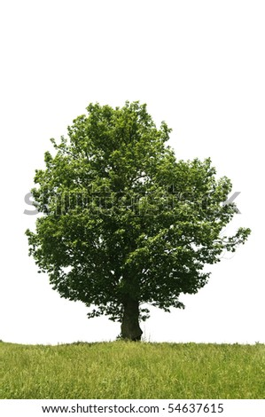 Isolated tree on white - stock photo