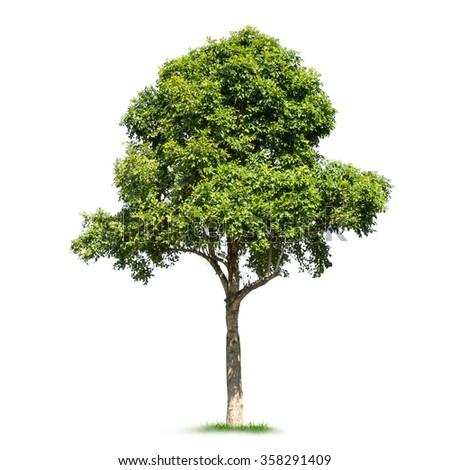Isolated tree on white background - stock photo