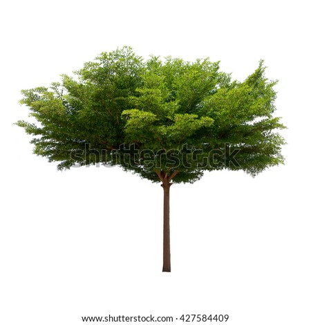 Isolated tree on white background,Terminalia ivorensis
