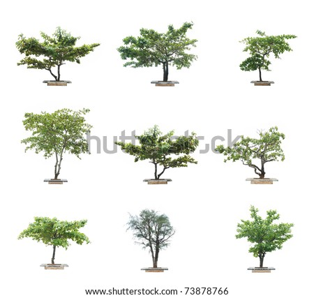 isolated tree on white background tropical asian tree