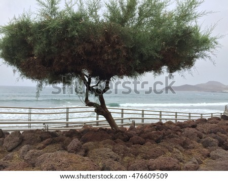 Isolated tree with rock, sea and sky background in Canteras beach in Las Palmas de Gran Canaria, Canary Islands, Spain.