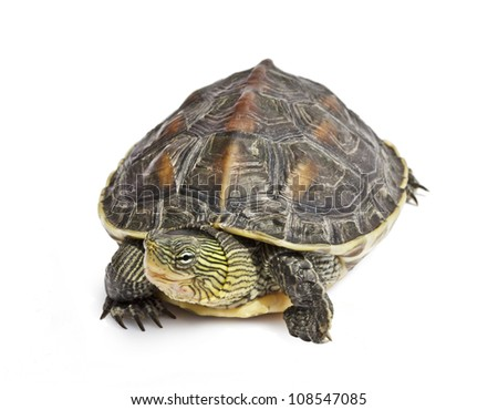 isolated turtle