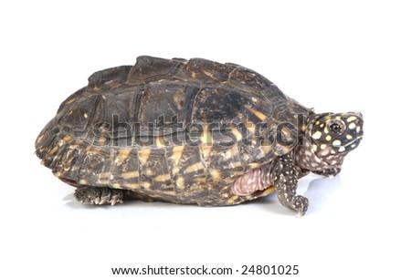 Isolated turtle on white background - stock photo