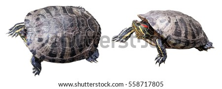 Isolated turtle on white background with path.