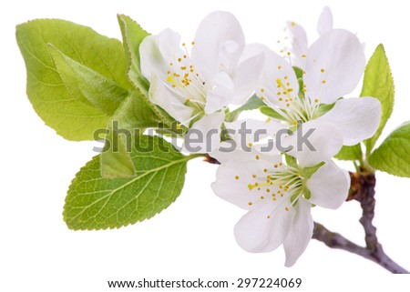 isolated twig with leaves and bloom of plum tree - stock photo