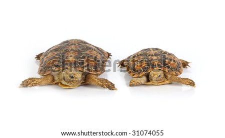 isolated two tortoises on white