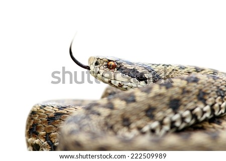 isolated venomous meadow viper, Vipera Ursinii rakosiensis, probably the most endangered species in europe - stock photo