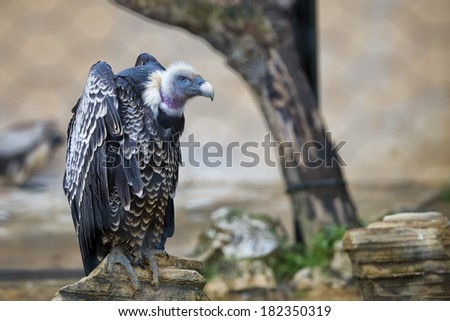 Isolated vulture, buzzard looking at you portrait - stock photo