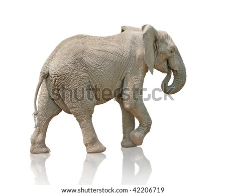 isolated walking elephant photo - stock photo