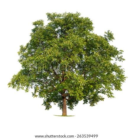 Isolated walnut tree on a white background - stock photo