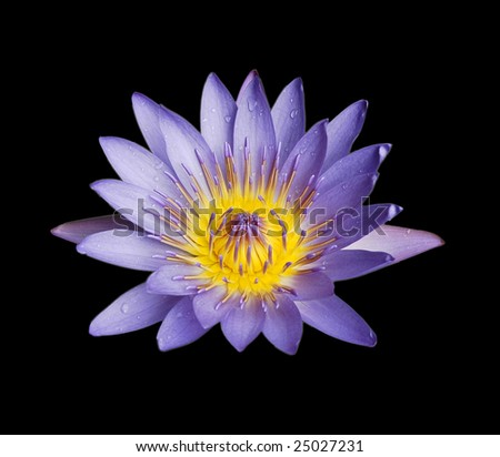 isolated water lily