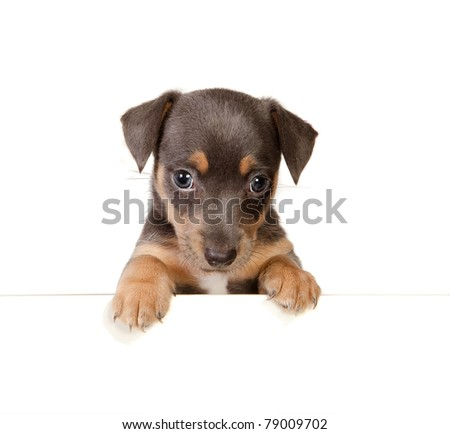 Isolated 6 weeks old jack russel puppy dog - stock photo