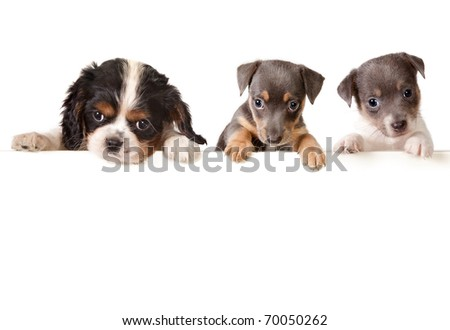 Isolated 6 weeks old puppy dogs with a white message - stock photo