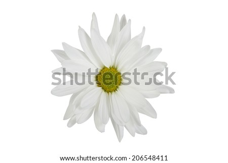 isolated white daisy flower centered on background - stock photo