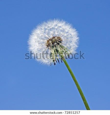 Isolated white dandelion clock against blue sky - stock photo
