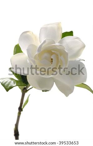 Isolated white gardenia - stock photo