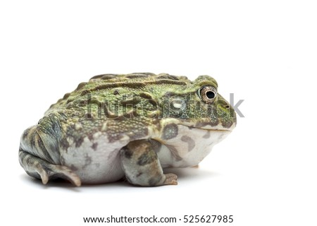 isolated white reptile frog