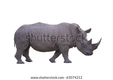 Isolated white rhino with plain background - stock photo