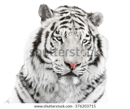 Isolated white tiger - stock photo