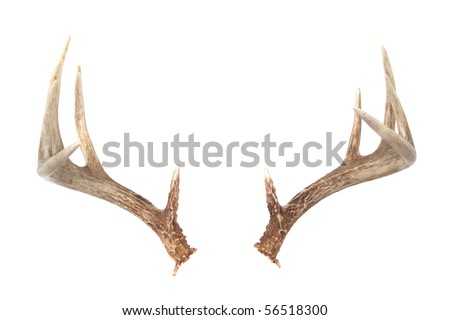 Isolated WHitetail Deer Antlers Isolated on white ready to put on any animal you like! - stock photo