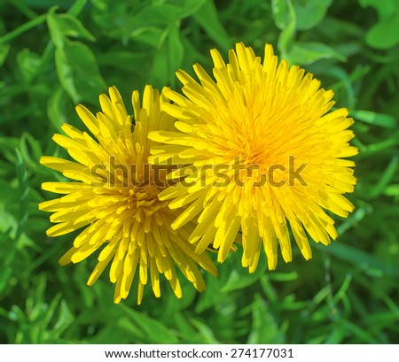 Isolated yellow blooming dandelions top view on background of green grass in springtime - stock photo