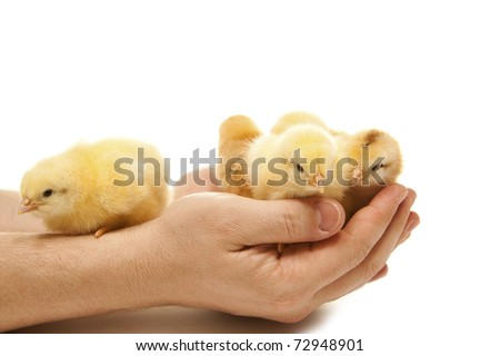 isolated yellow chicken in a man hand - stock photo