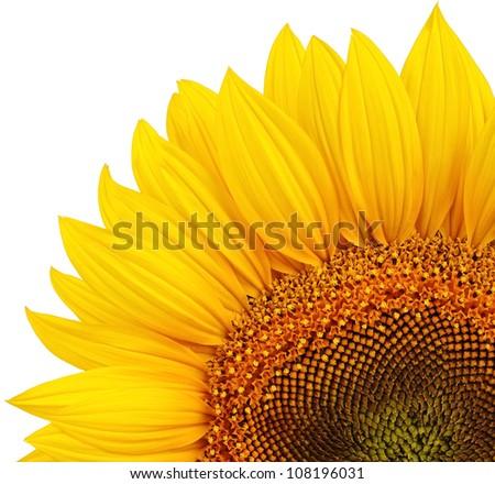 Isolated yellow sunflower - stock photo